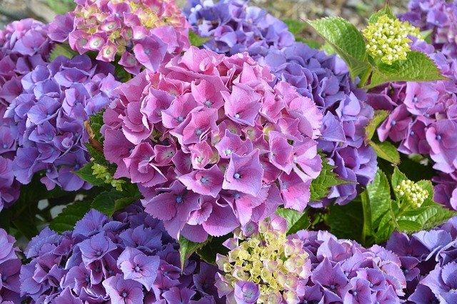 hortenzie fialová