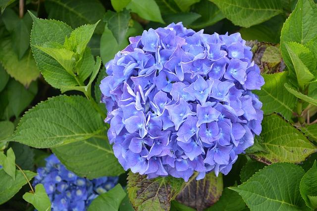 velký modrý květ hortenzie